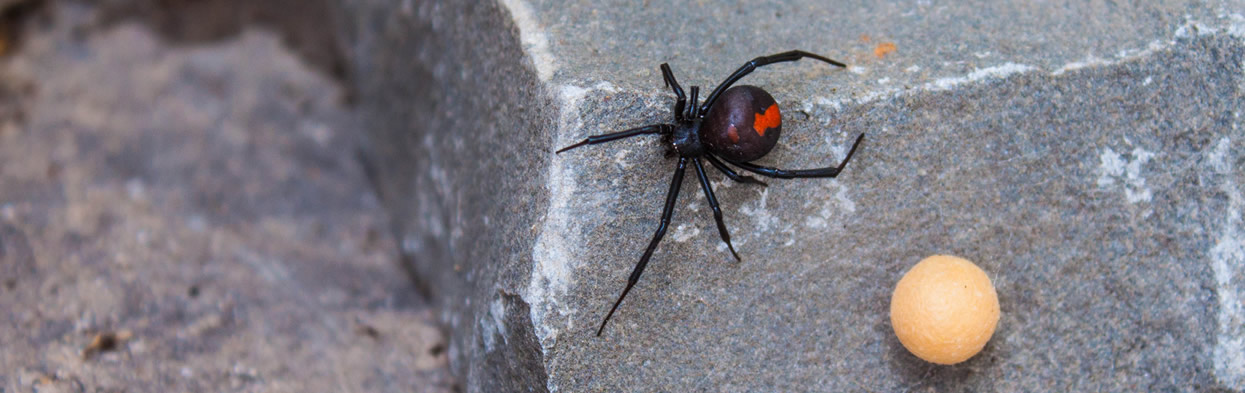 red-back-spider2